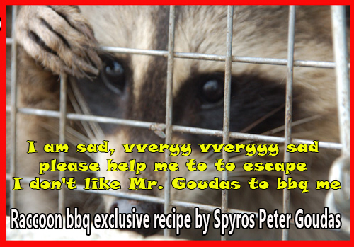 Raccoon Mr. Goudas Recipes RACCOON BBQ  I suggest that you take a quick bathroom break before you read this hilarious comedy.  You will be laughing so much, you may have an accident.  I have never seen an elephant, a tiger or a lion in my life.  In fact, that is not true; I have seen them in the movies and documentaries.  On the other hand, people who live in areas with these animals have never seen a raccoon.  The raccoon is a small animal with grayish black fur, black patches around the eyes, and a long bushy ringed tail, which many consider to be a pest.  One day when you have a story to tell me about your elephant, tiger or lion, send it to me.  Today, I will talk about the raccoon since I know a little bit about them.
